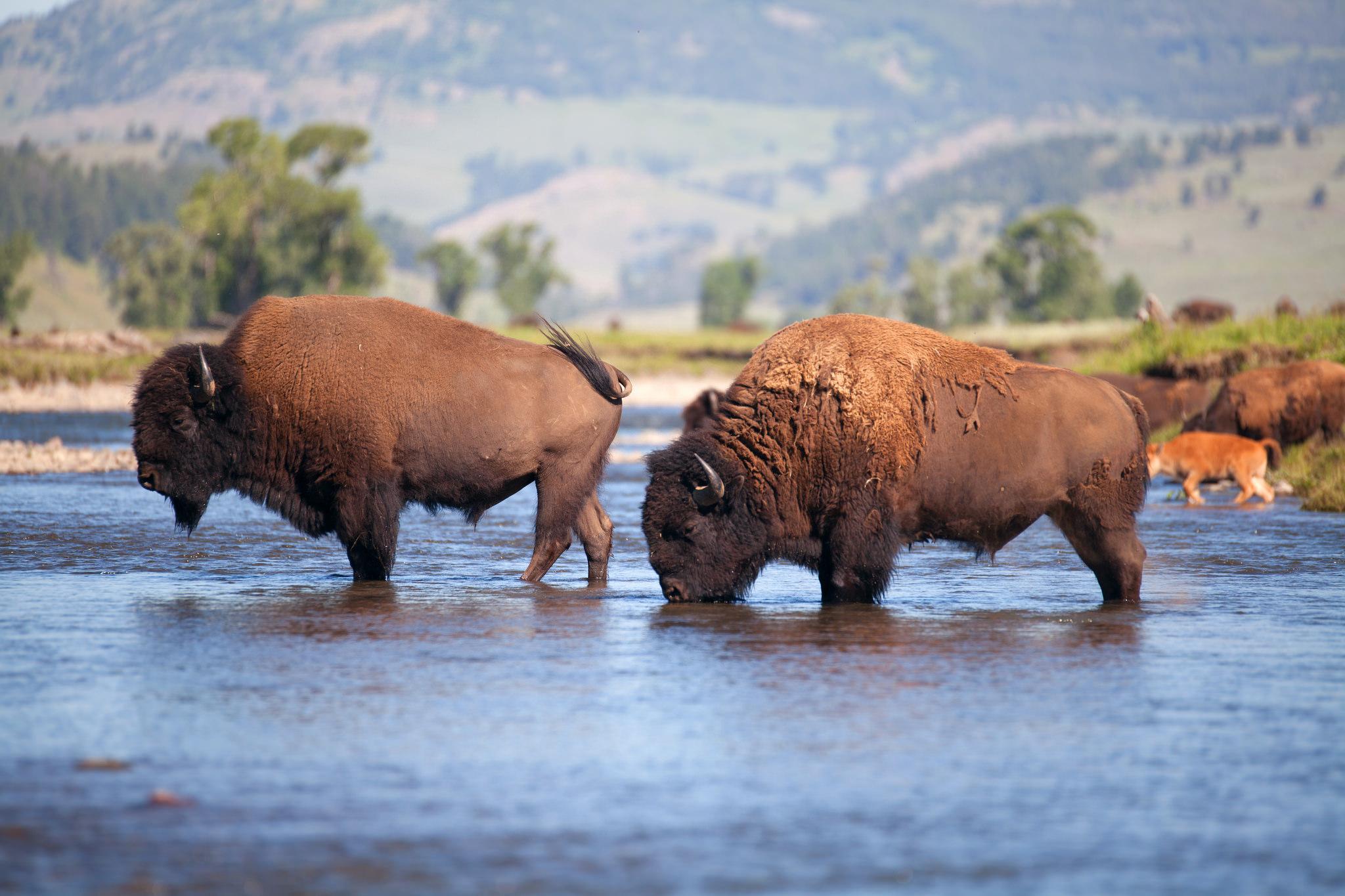 bison Mellish