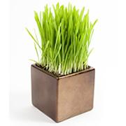 pot of grass