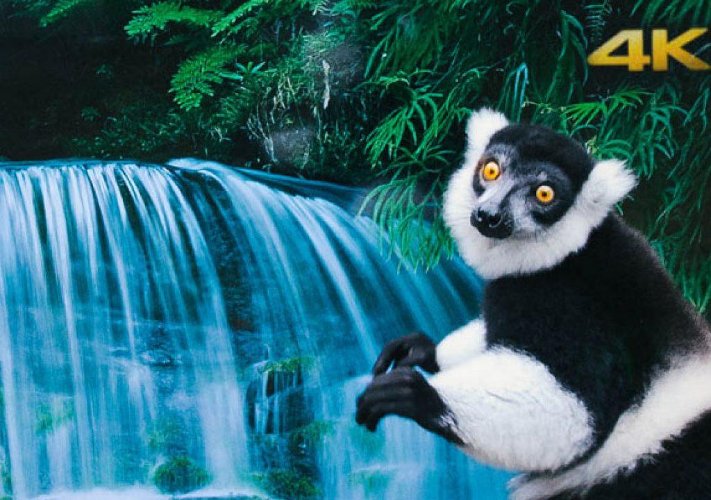 Lemurs and langurs watch life-like 4K TV 4