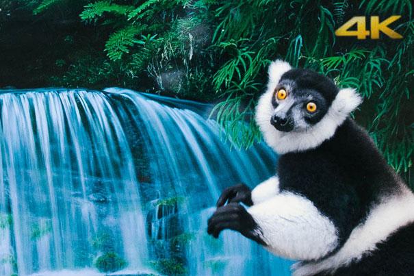 Lemurs and langurs watch life-like 4K TV 2