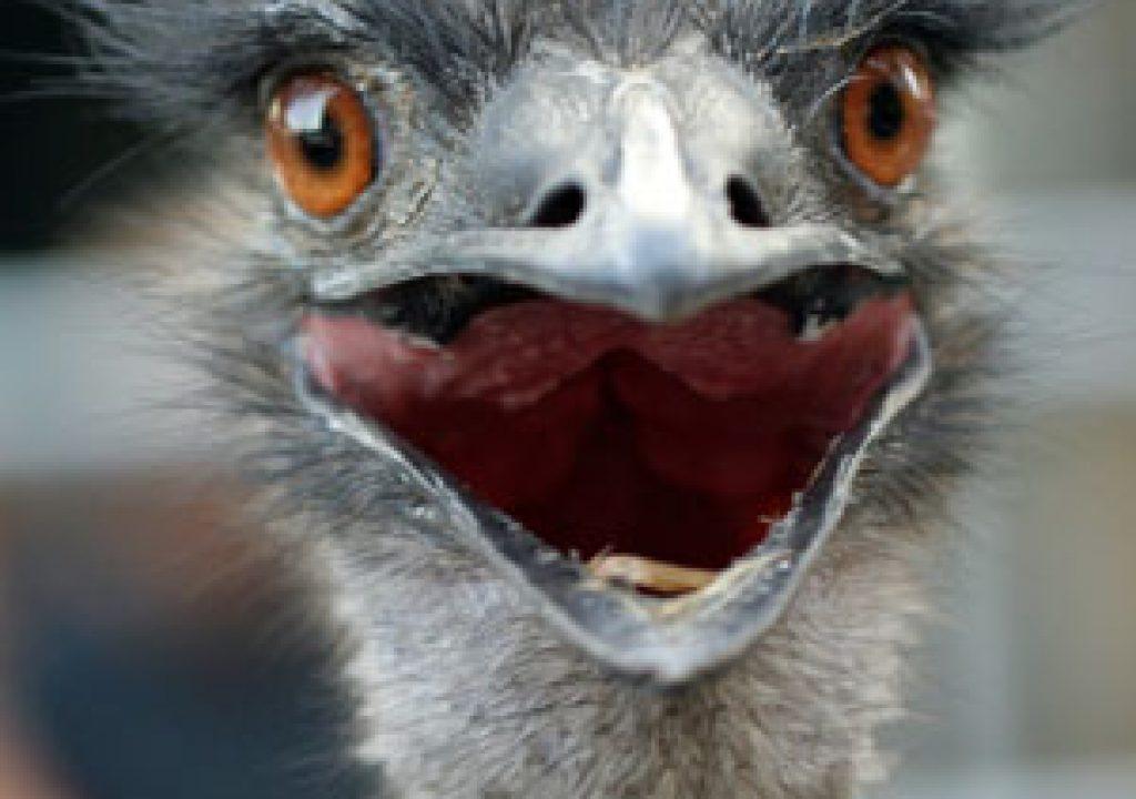 ostrich_300.jpg