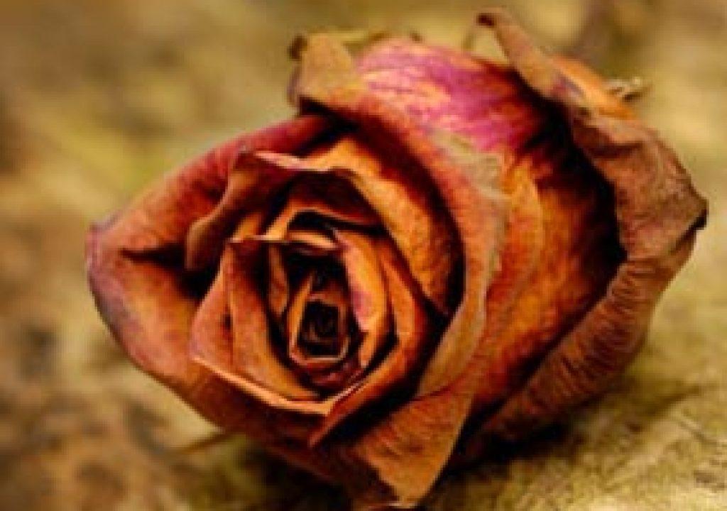 rose_hero.jpg